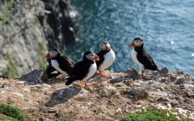 Puffins, Skomer Island, Wales