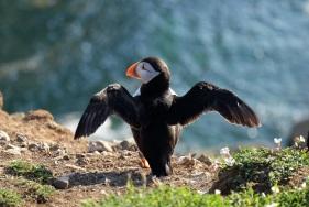 Skomer Island puffin