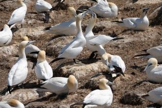 Gannets, Saltee Isles