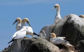 Gannets, Saltee Islands