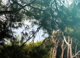 San Domino Pine Forests