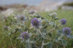 Emma's Sea Holly