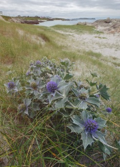 Sea Holly, Anchor Beach